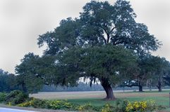 Oak tree with Spanish Moss Stock Images