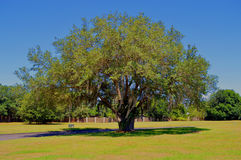 Oak tree with Spanish moss growing on it Stock Image