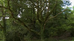 Oak Tree With Spindly Limbs. Handheld, tilting down, medium wide shot of a large oak tree with spindly limbs stock video footage