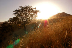 Oak Tree With Spirit. Oak tree growing on a golden hill with an expressive flare lighting from the sunrise stock photos