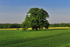 Oak tree in spring. In germany lower saxonie Royalty Free Stock Photography