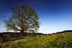 Oak Tree in Spring. At base of small hill, Bavarian landscape, rolling hills and blue sky Royalty Free Stock Images