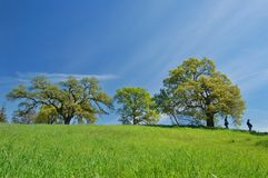 Oak Tree in spring Stock Image