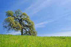 Oak Tree in spring Royalty Free Stock Photo