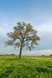 Oak tree in spring stock photography