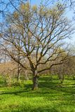 Oak tree at spring Royalty Free Stock Photography