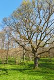 Oak tree at spring forest Stock Photo