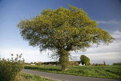 Oak tree at springtime. Beautiful old oak tree in low evening sun. The countryside - Denmark at springtime Royalty Free Stock Image