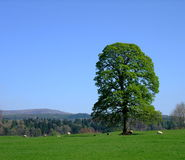 Oak Tree in Springtime at Drumlanrig Royalty Free Stock Images