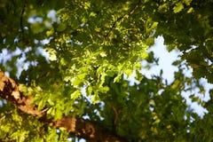 Oak tree in springtime, seen from below stock photos