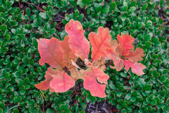Oak tree sprout with red leaves in green bootlicking moss Royalty Free Stock Photos