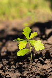 Oak tree sprout with rich green leaves on soil background Royalty Free Stock Images