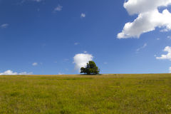 Oak tree standing alone on a green meadow. In a sunny day Stock Image