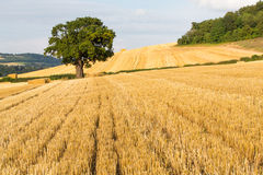 Oak tree stands out in a recently harvested field Royalty Free Stock Photos