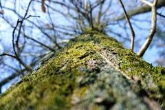 Oak tree stem Royalty Free Stock Image
