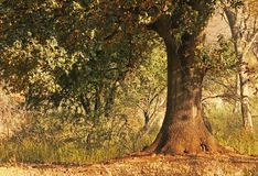 OAK TREE WITH STURDY TRUNK Royalty Free Stock Images