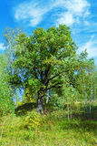 Oak Tree in Summer Forest Stock Photos