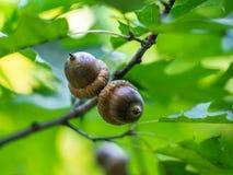 Oak tree in summer. royalty free stock image