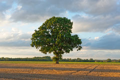 Oak Tree on a Summers Evening. A large oak tree is pictured alone in a ploughed field in the golden glow of a summers evening in Norfolk Royalty Free Stock Photos