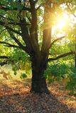 Oak tree and sun rays. Oak tree and evening sun rays in forest Royalty Free Stock Image