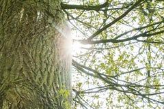 Oak tree. And sunlight image Royalty Free Stock Photo
