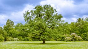 Oak tree on a Sunny day. In the park. St. Petersburg. Russia Royalty Free Stock Photo