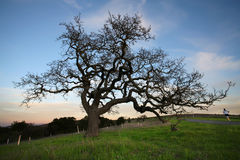 Oak Tree at sunset Royalty Free Stock Image