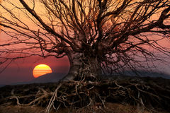 Oak tree sunset. Abstract background with sunset over the big oak tree Stock Photo
