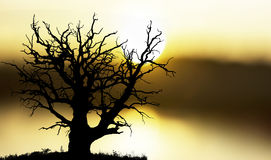 Oak tree at sunset royalty free stock photo