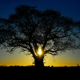 Oak Tree at Sunset Stock Images