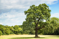 Oak Tree Stock Photo