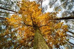 Oak tree super wide angle shot Royalty Free Stock Photos