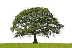 Oak Tree, Symbol of Strength Royalty Free Stock Image