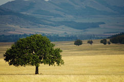 Oak Tree, Symbol of Strength Stock Photos