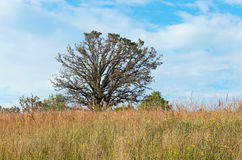 Oak Tree and Tall Grass Prairie Royalty Free Stock Images