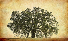 Oak Tree with Texture Background Stock Photography