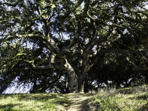 Oak Tree. On the top of the hills in Topanga State Park Royalty Free Stock Photography