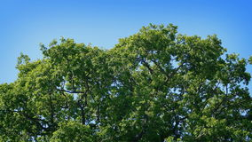 Oak Tree Top On Sunny Day stock video
