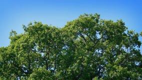 Oak Tree Top On Sunny Day. Large oak tree top sways in summer breeze stock video