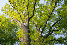 Oak tree treetop seen from below view perspective sun bright green leaves leaf Stock Photos
