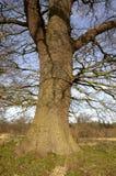 oak tree trunk Zdjęcie Stock