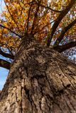 Oak tree trunk Royalty Free Stock Image