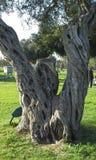 Oak tree Royalty Free Stock Photography