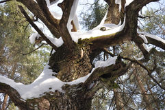 Oak Tree Trunk With Bare Branches In Winter Stock Photo