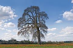 Oak Tree in Tulip Field Royalty Free Stock Image