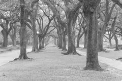 Oak tree tunnel foggy morning Houston, Texas, USA. Black and whi Stock Photos