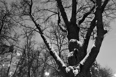 Oak tree on Tverskoy boulevard in Moscow, a natural monument more than 200 years old. It is also called Pushkin`s oak. Black and white night winter photo Stock Photos