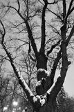 Oak tree on Tverskoy boulevard in Moscow, a natural monument more than 200 years old. It is also called Pushkin`s oak. Black and white night winter photo Royalty Free Stock Photos