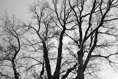 Oak tree on Tverskoy boulevard in Moscow, a natural monument more than 200 years old. It is also called Pushkin`s oak. Black and white night winter photo Royalty Free Stock Photography