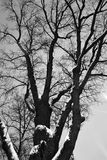 Oak tree on Tverskoy boulevard in Moscow, a natural monument more than 200 years old. It is also called Pushkin`s oak. Black and white night winter photo Stock Image